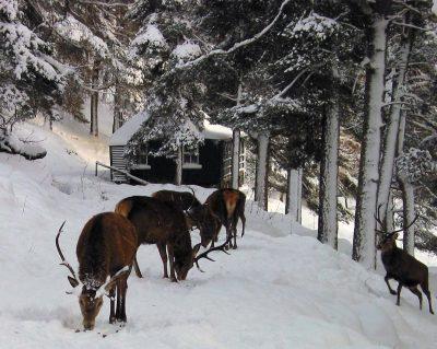 Alvie Estate Deer Feeding